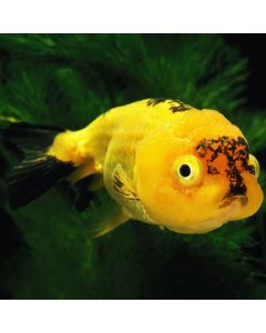 Assorted Lionhead Goldfish
