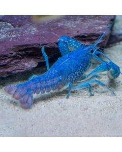 Australian Electric Blue Lobster