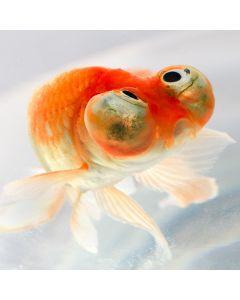 Celestial Eye Goldfish (Assorted Colours)