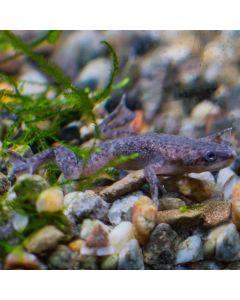 Dwarf Aquatic Frog