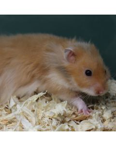 Short-Haired Hamster