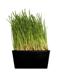 Fresh Grow Live Oat Grass
