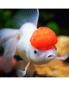 Assorted Oranda Goldfish