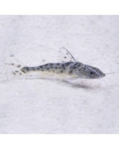 Spotted Pictus Catfish