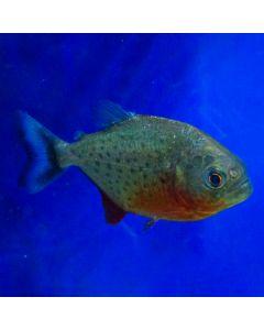 Medium Red Belly Piranha
