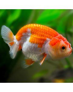 Assorted Ranchu Goldfish
