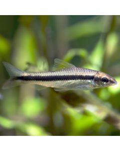 Siamensis Algae Eater