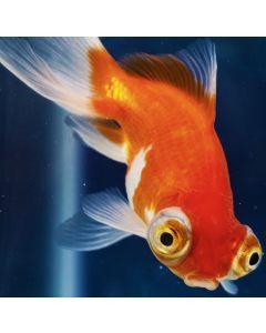 Assorted Telescope Eye Goldfish